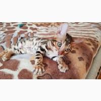 Продажа бенгальских кошек Одесса. Продажа кошек Одесса
