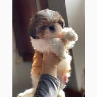 Продам щенка ши тцу в Киеве