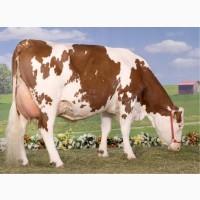 Корови та бики дорого
