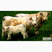 Закупаем бык, корова, телка, от 180кг лошадь, ДОРОГО