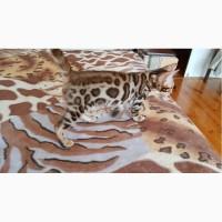 Купить кота бенгальской породы