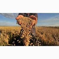 Продам ячмінь, пшеницю, кукурудзу