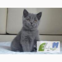 Голубые Британские котята с плюшевой шерсткой