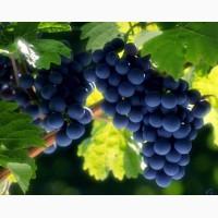Продам виноград Зайбер), 1001