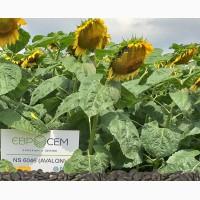 Пропонуємо купити насіння соняшника НС Авалон (НС 6046)