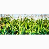 Кукурудза ЯНІС (ФАО 270) / Семена кукурузы по низкой цене | От производителя