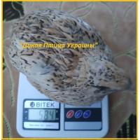Инкубационные яйца перепела для маточного стада