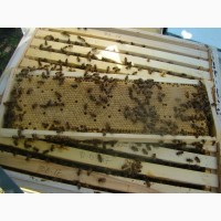Матки Карпатка-Пчеломатки Карпатской Породы 2019 годаа Плодные