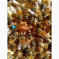 Матки, Пчелинные матки Карпатка тип Говерла и Вучковский Плодные 2019
