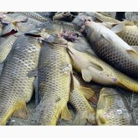 Покупаем речную рыбу