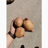 Картопля ОПТ Рівєра, Мелоді, БелаРоса, Санте з поля Доставка є ОБєм