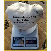 Инкубационные яйца перепела Техасец белый - бройлер (США Texas A M)