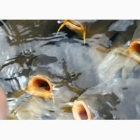 Зарыбление прудов, озер, водоемов