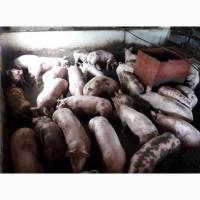 Продам відбірних свиней оптом