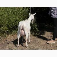Продам зааненскую козу