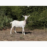 Продам козу в Днепре