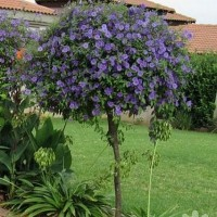 Картопляне дерево - паслін Рантонетті