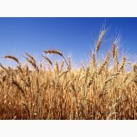 Підприємство на постійній основі закуповує за високими цінами пшеницю всіх класів