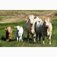 Купим быков коров лошадей молодняк свиней баранов
