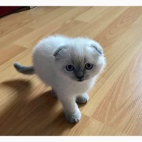Для души и разведения-шотландские котята