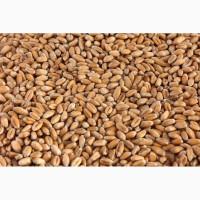 Закупляємо у виробників кукурудзу з повишеною вологістю