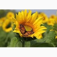 Пропонуємо купити насіння соняшнику Monarch (NS Serbia) | Монарх