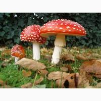 Мухомор красный (сушеные шляпки)
