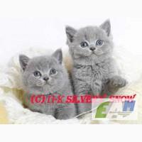 Британские котята из питомника Silvery Snow